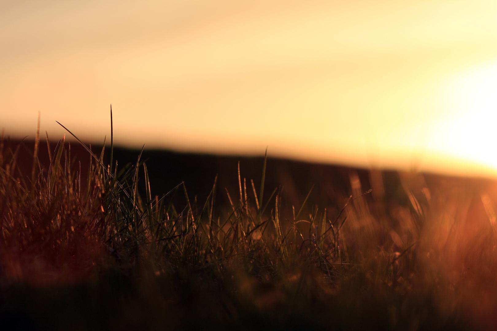 Gras bei Sonnenuntergang