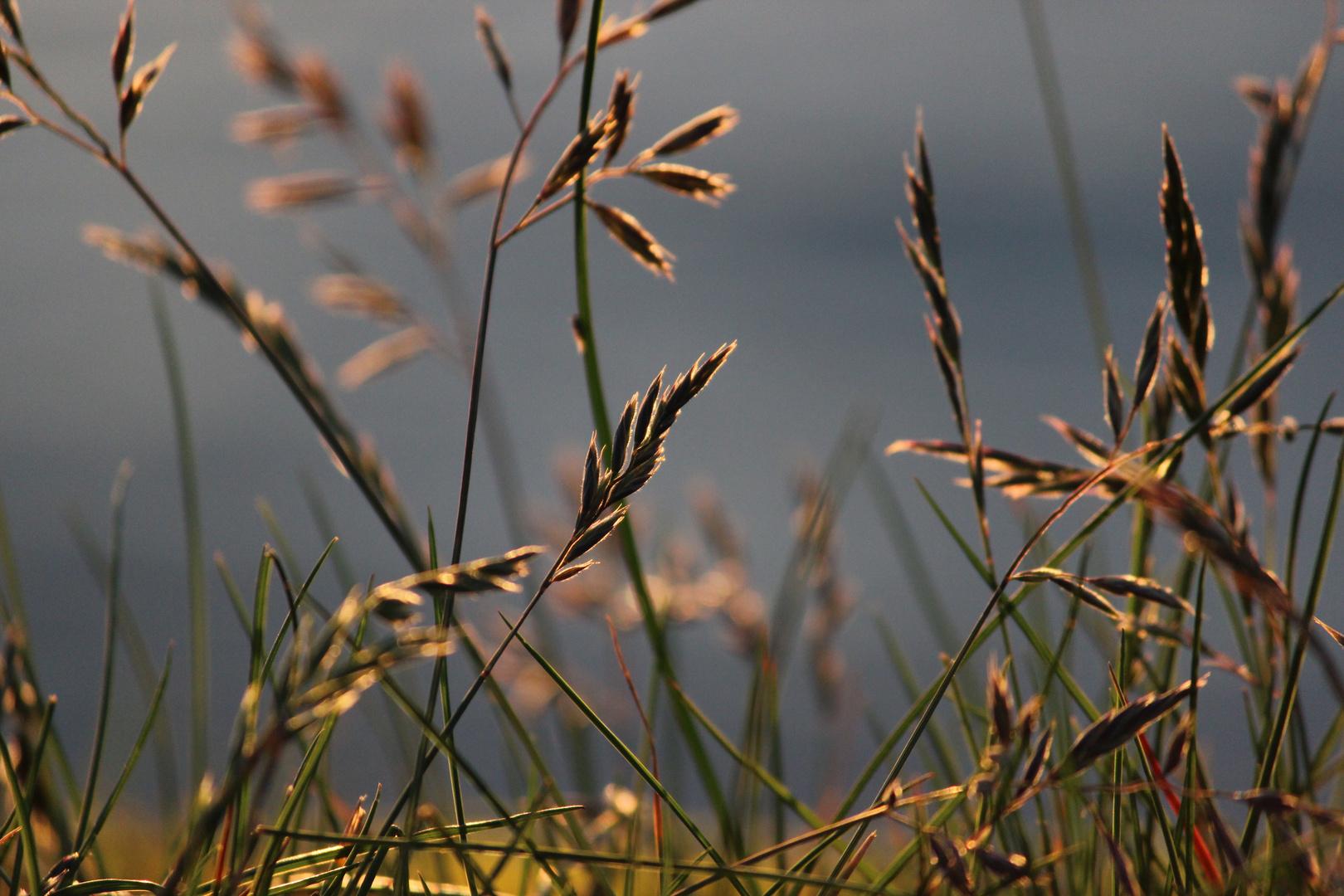 Gras im Licht der Mitternachtssonne