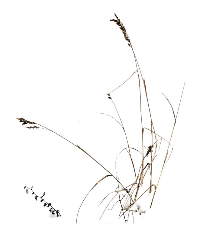 Gras im Schnee 2