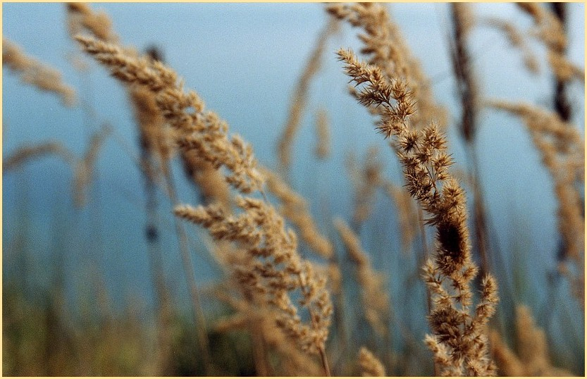 Gras im Windhauch (2)