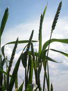 Gras ... oder Korn....
