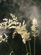 Gras-Pollen