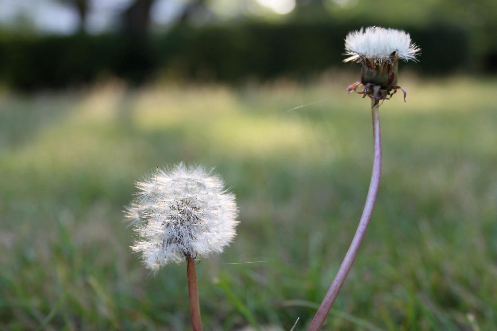 Gras und Pusteblumen.