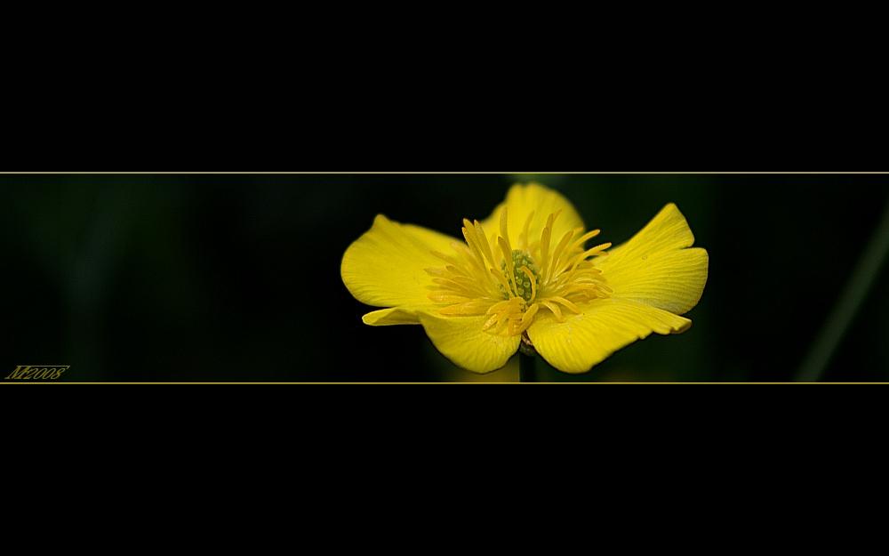 Grasblättriger Hahnenfuß (Ranunculus gramineus) / grass-leaved buttercup