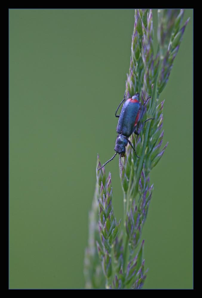 Grasblau .... oder blau vom Gras?