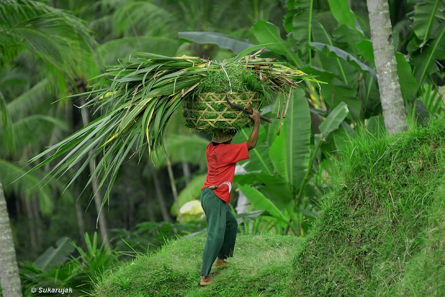 Grasernte, Bali / Indonesien