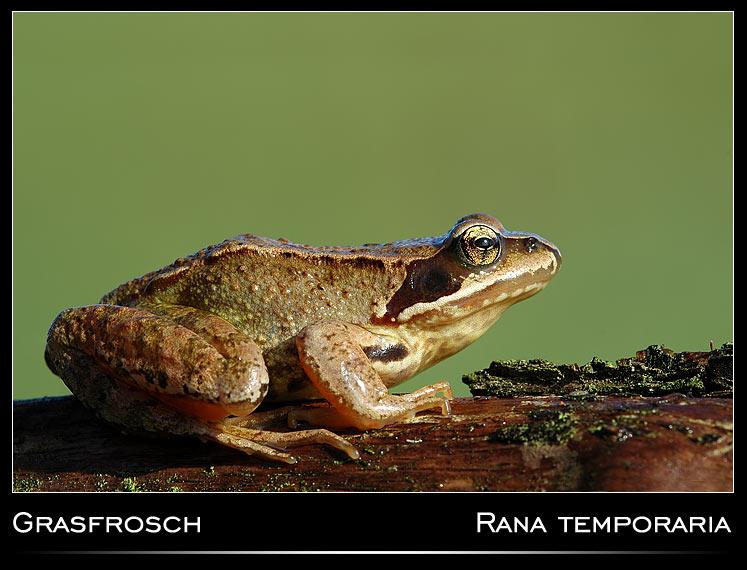 Grasfrosch