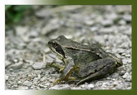 Grasfrosch - Rana temporaria -