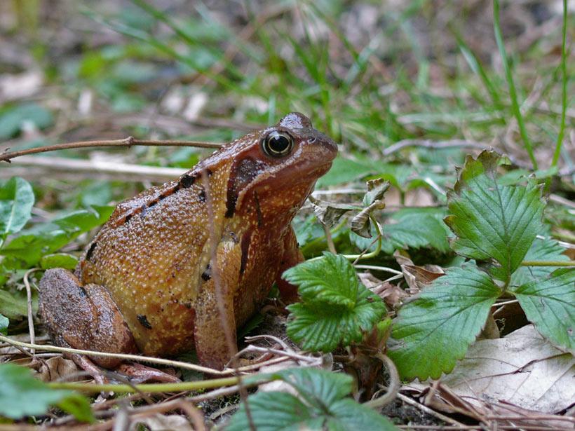 Grasfrosch Rani (Rana temporaria) hat den Winter überstanden.....