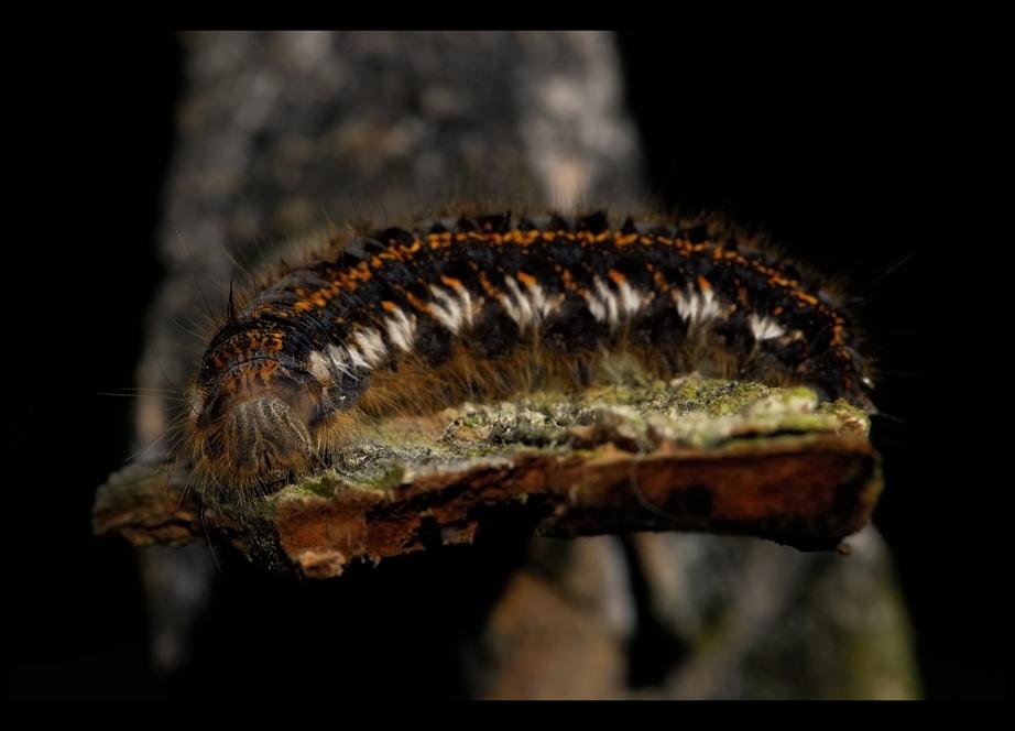 Grasglucke (Euthrix potatoria) oder auch Raupe Nimmersatt