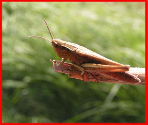 Grashopper2