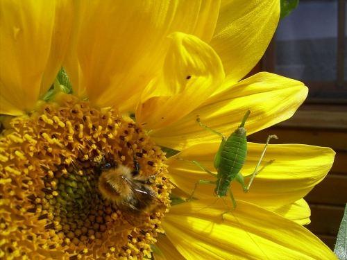 Grashüpfer und Biene bei Tisch