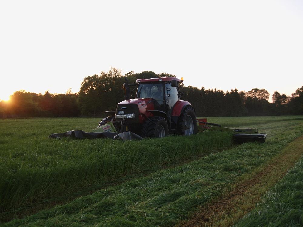 Grasmähen im Sonnenuntergang