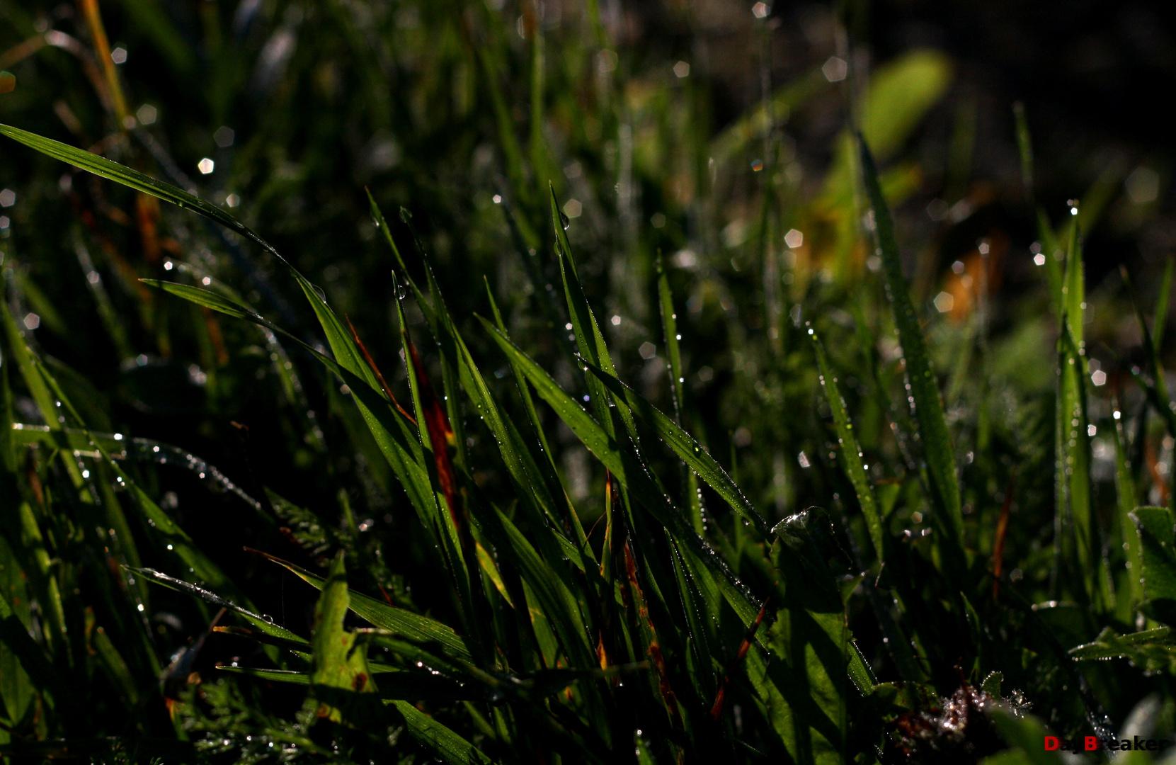 Grass in Sundawn