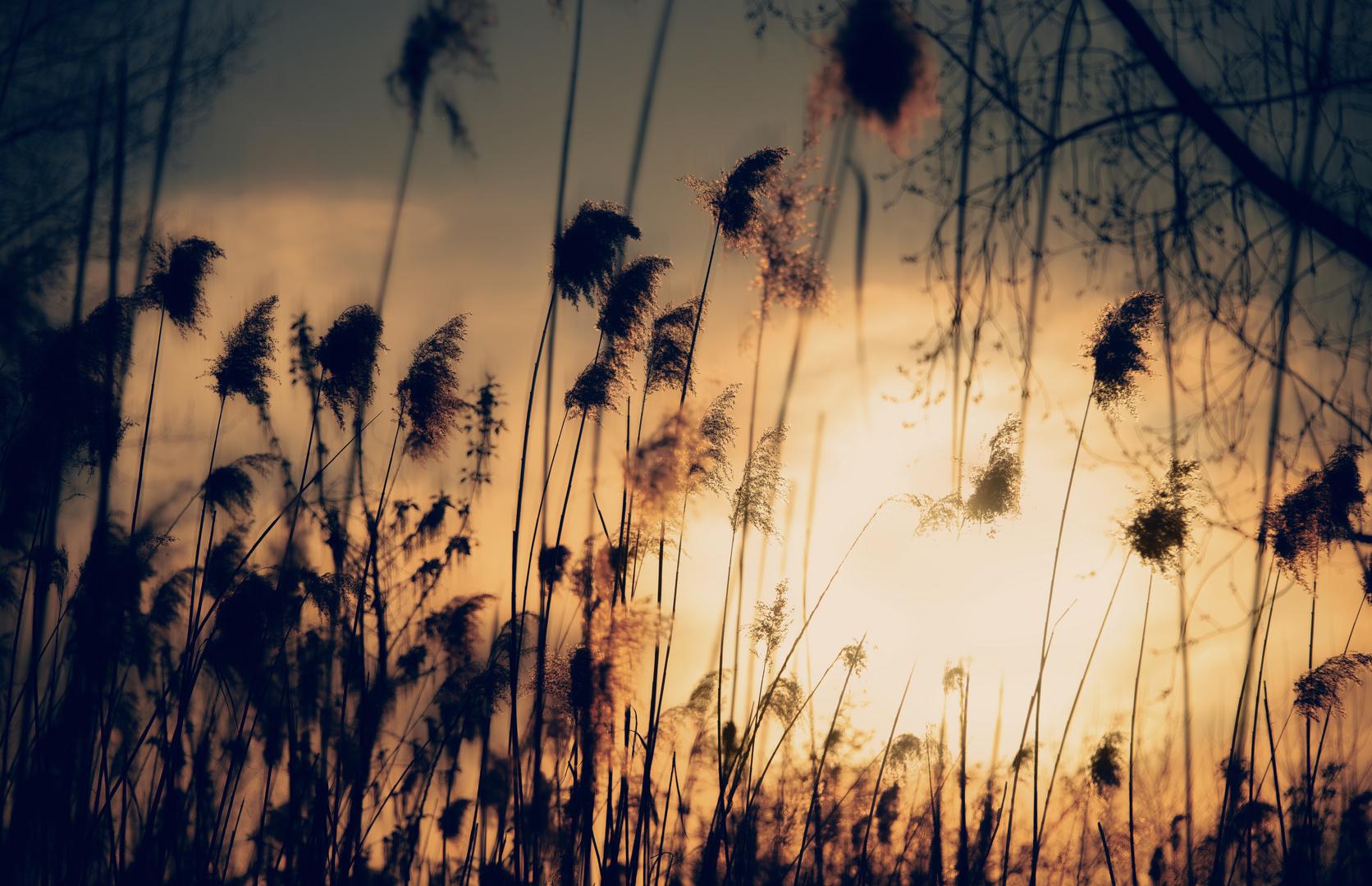 Grasses in sunset