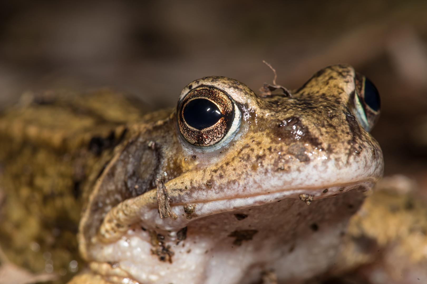 Grassfrosch-Portrait