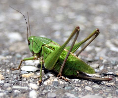 """""""Grasshopper"""" ganz nah..."""