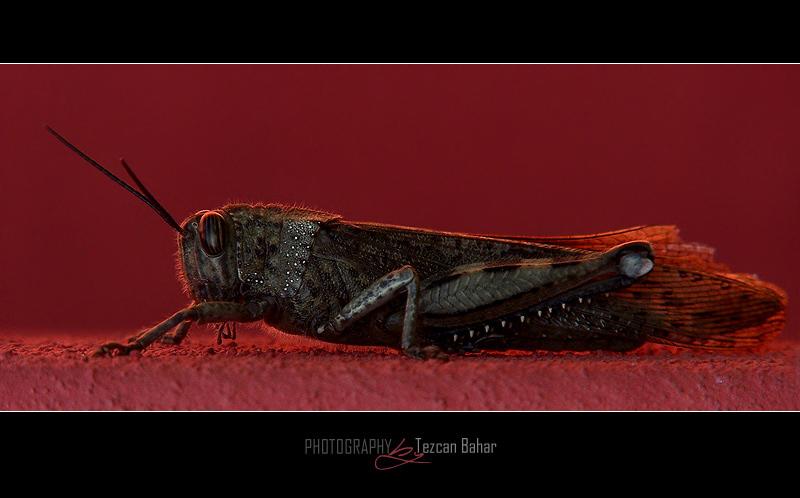 Grasshopper I