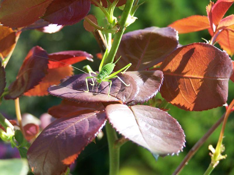 Grasshopper on my Roses.