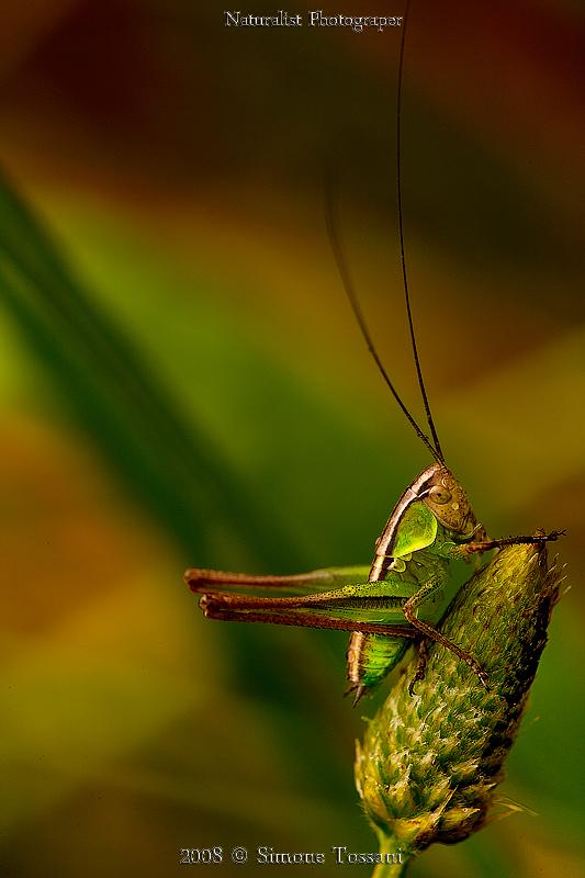 Grasshopper Small