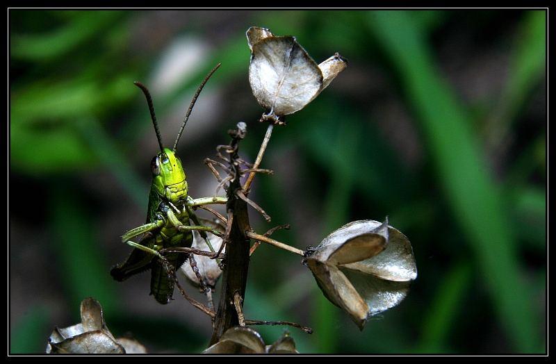 Grasshoppers I