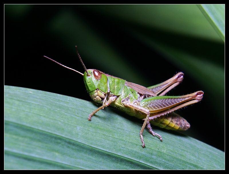 Grasshoppers III