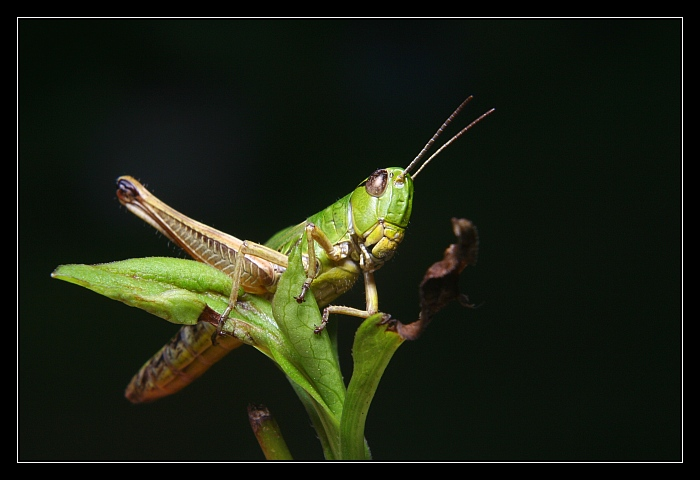 Grasshoppers IV
