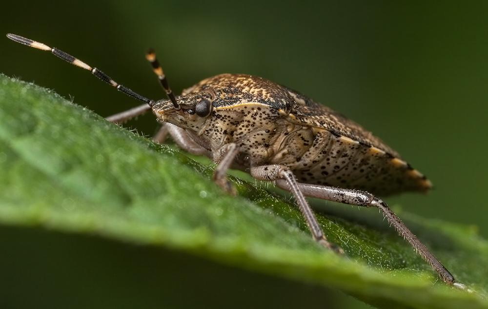 Graue Gartenwanze (Rhaphigaster nebulosa)