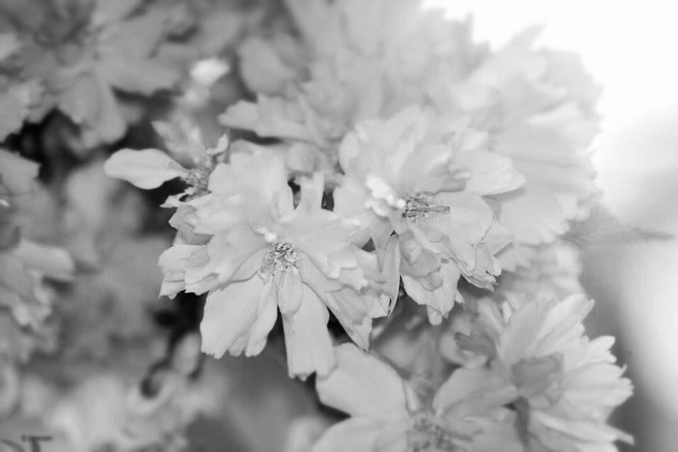 Graue Zeiten für Kirschblüten
