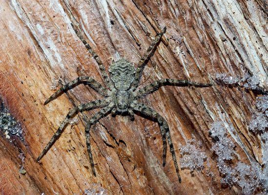 Grauer Flachstrecker (Philodromus margaritatus) - Elle passe l'hiver sous une écorce d'un arbre!