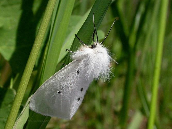 Grauer Fleckleibbär (Weibchen)