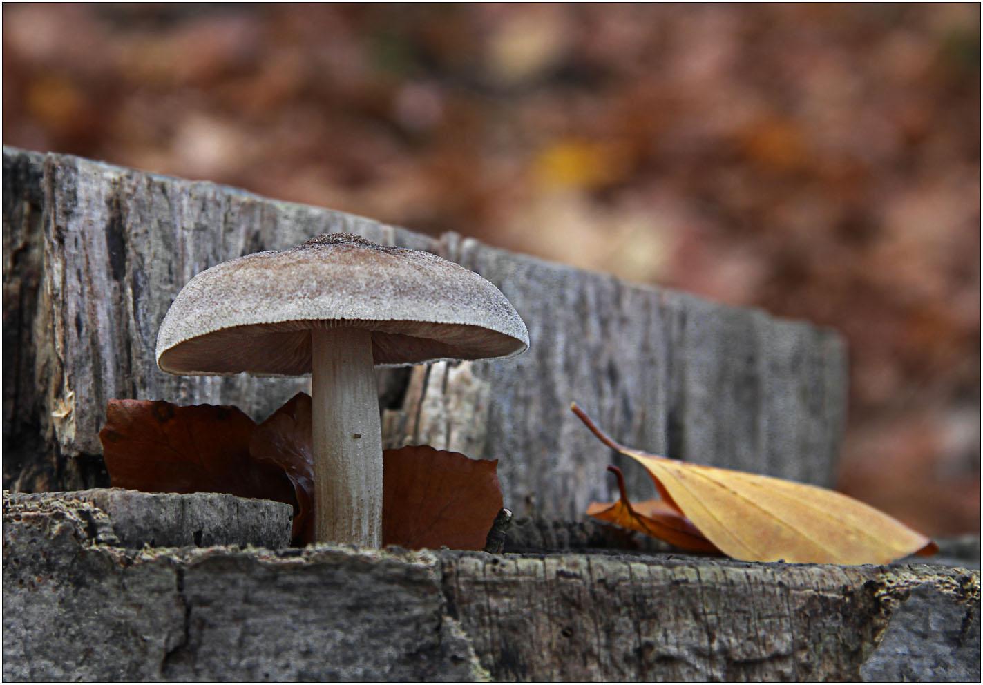 Grauer Pilz auf grauem Holz