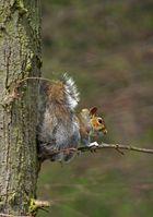 graues Eichhörnchen in England