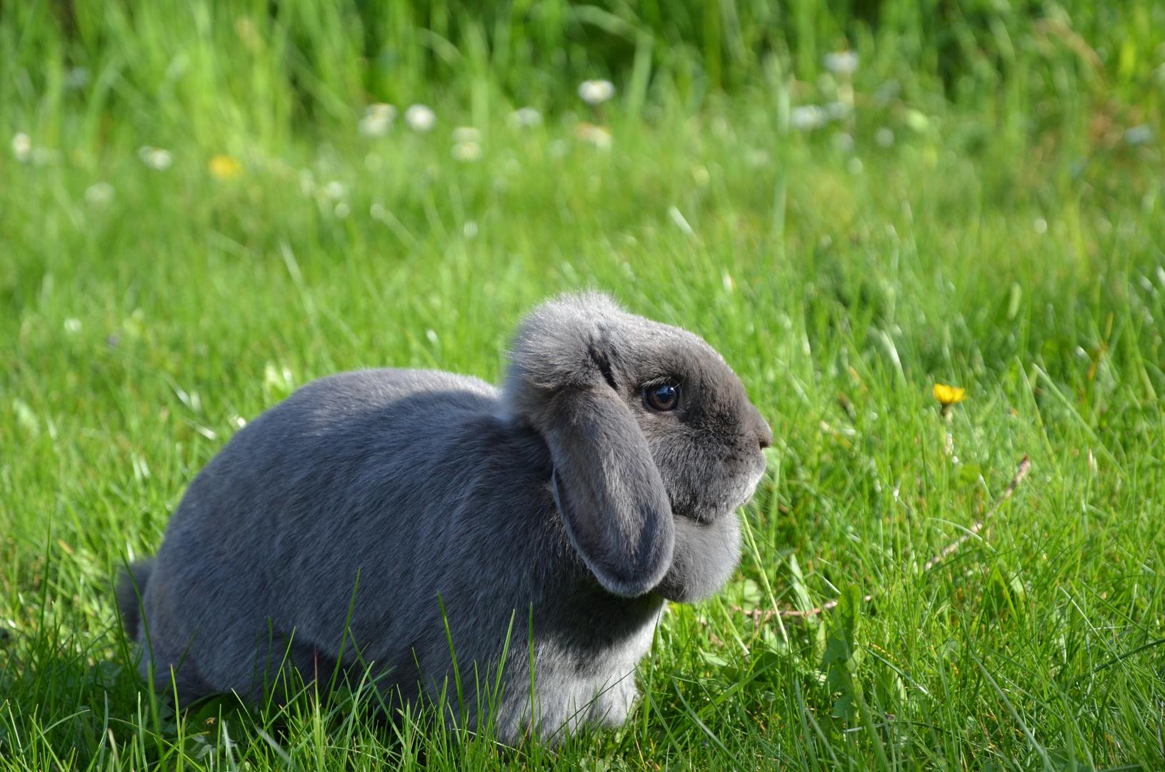 Graues Kaninchen