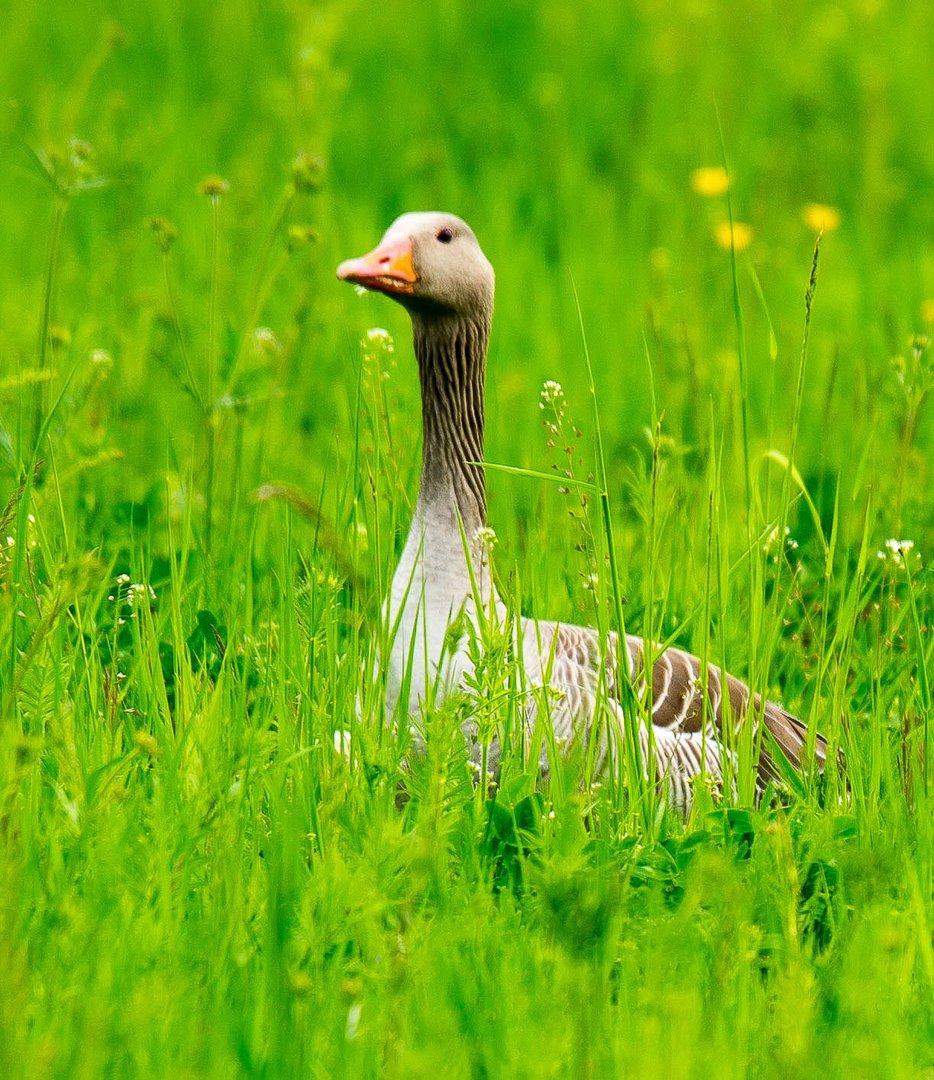 Graugans in Frühlingswiese