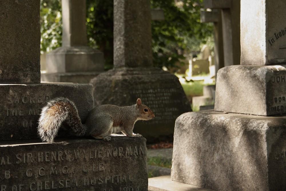 Grauhörnchen auf den Gräberfeldern in Brompton