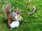 Grauhörnchen -Obsttag-