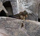 Grauhörnchen (Sciurus carolinensis) (1)