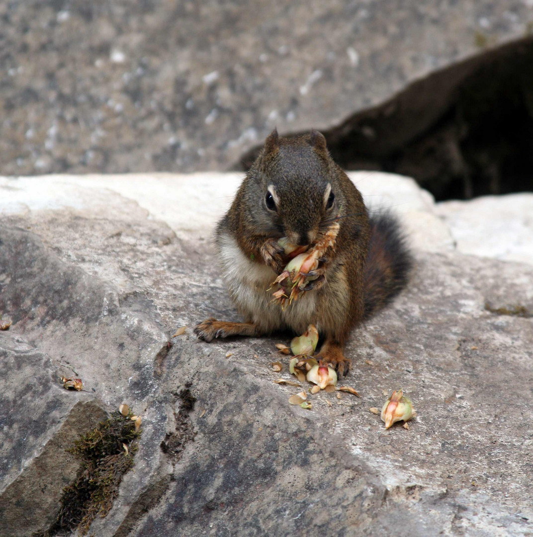 Grauhörnchen (Sciurus carolinensis) (2)