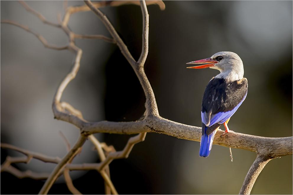 Graukopfliest (engl. Grey-headed kingfisher)