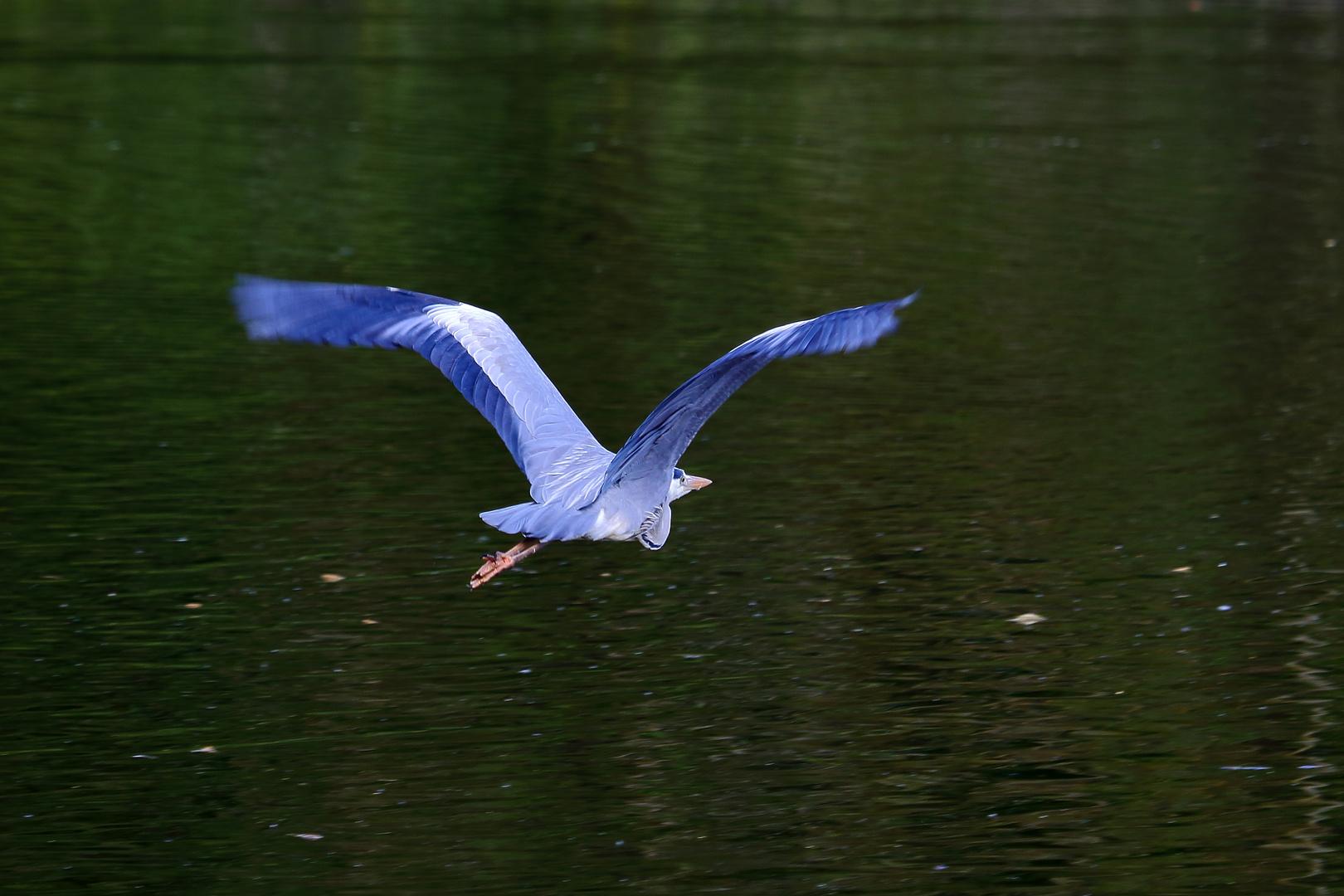 Graureiher am Bruchsee (III)