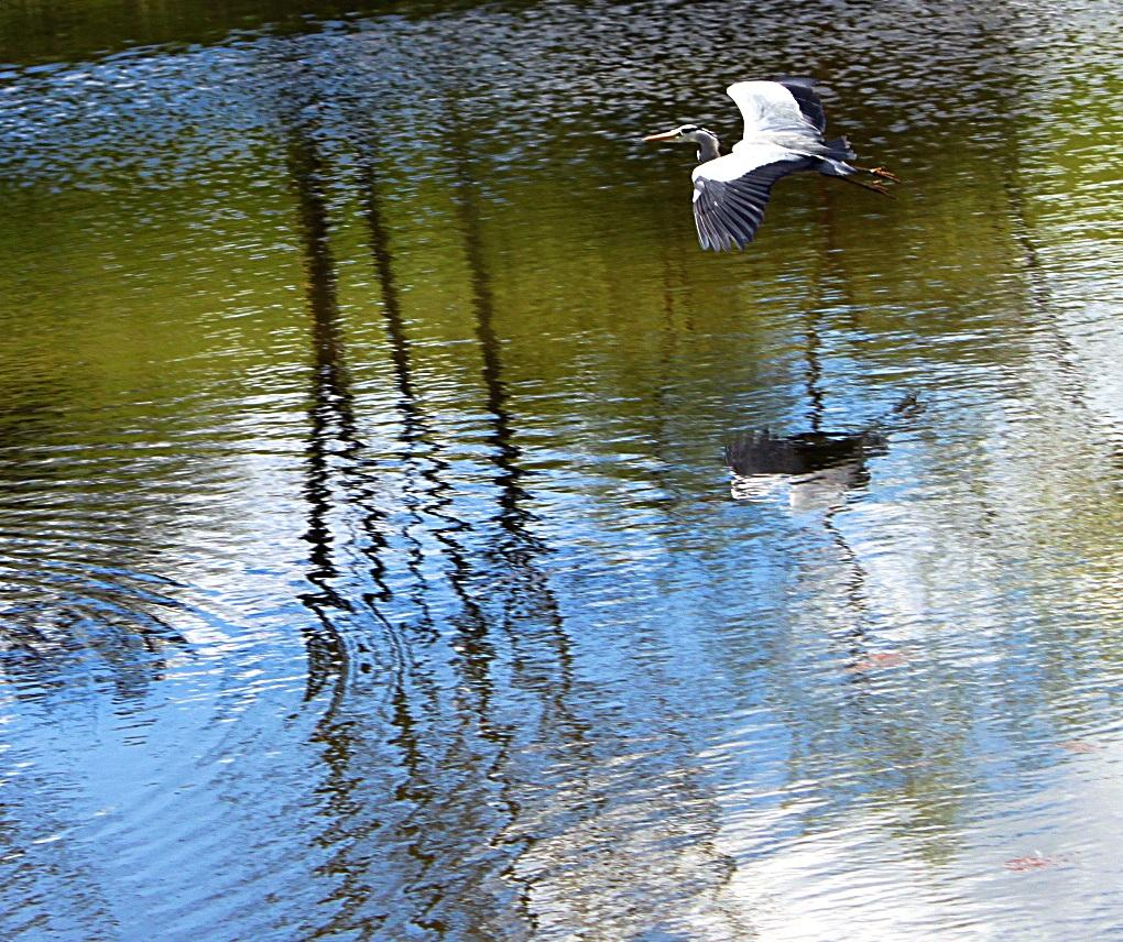 Graureiher auf dem Golfteich in Dillenburg