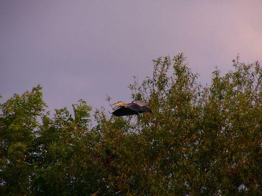 Graureiher beim Abflug