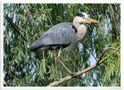 _ Graureiher beim Nestbau - ( Ardea cinerea ) von Wolfgang Zerbst - Naturfoto