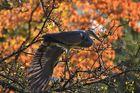 Graureiher im Herbstbaum