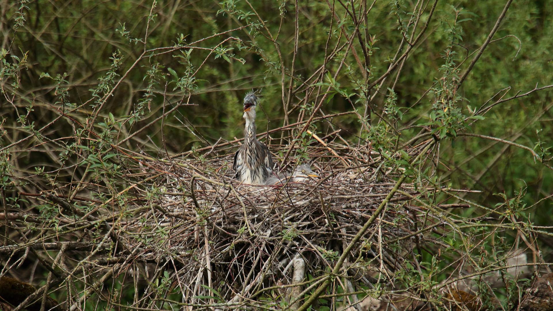 Graureiher im Nest 02