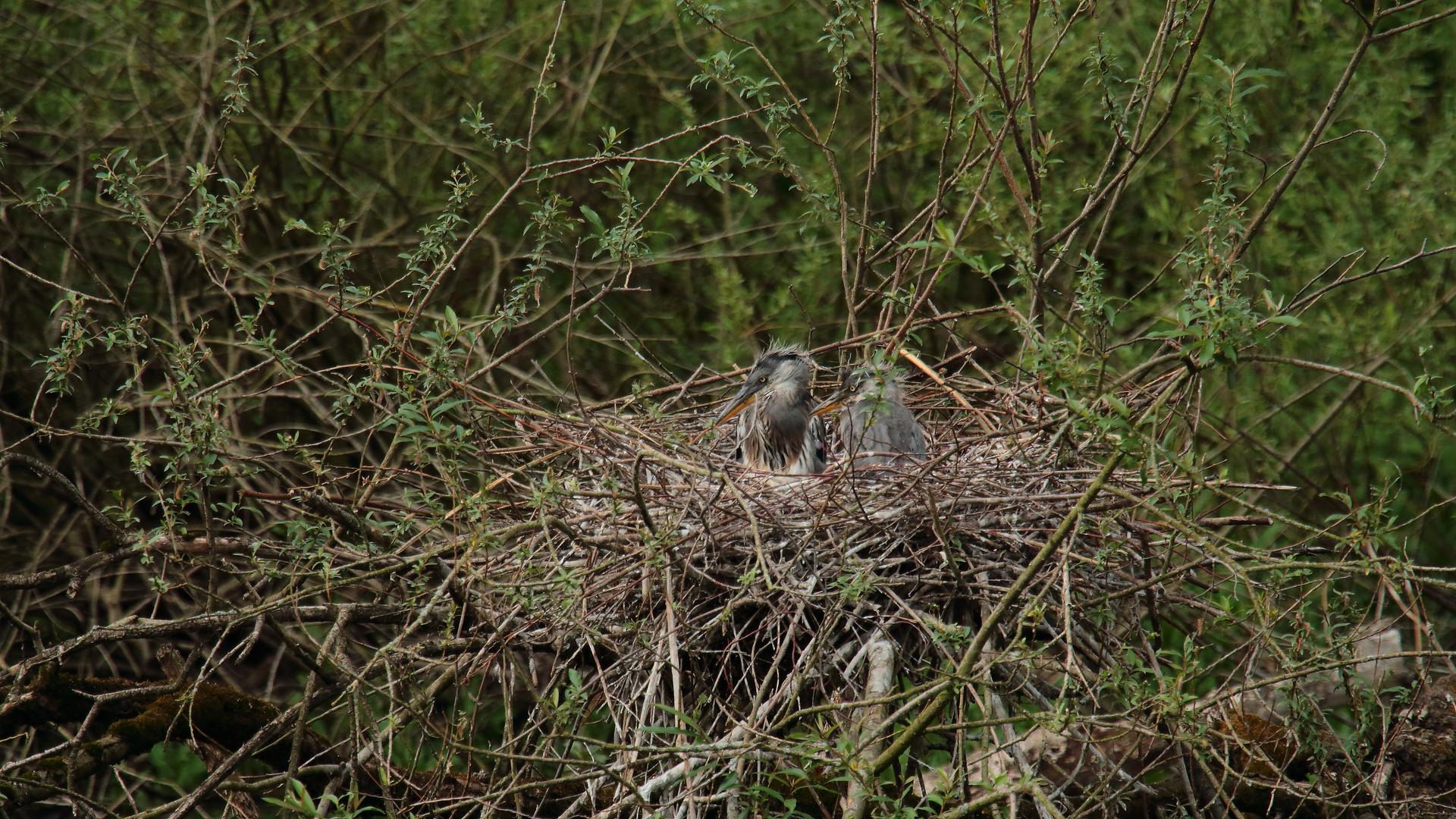Graureiher im Nest 03