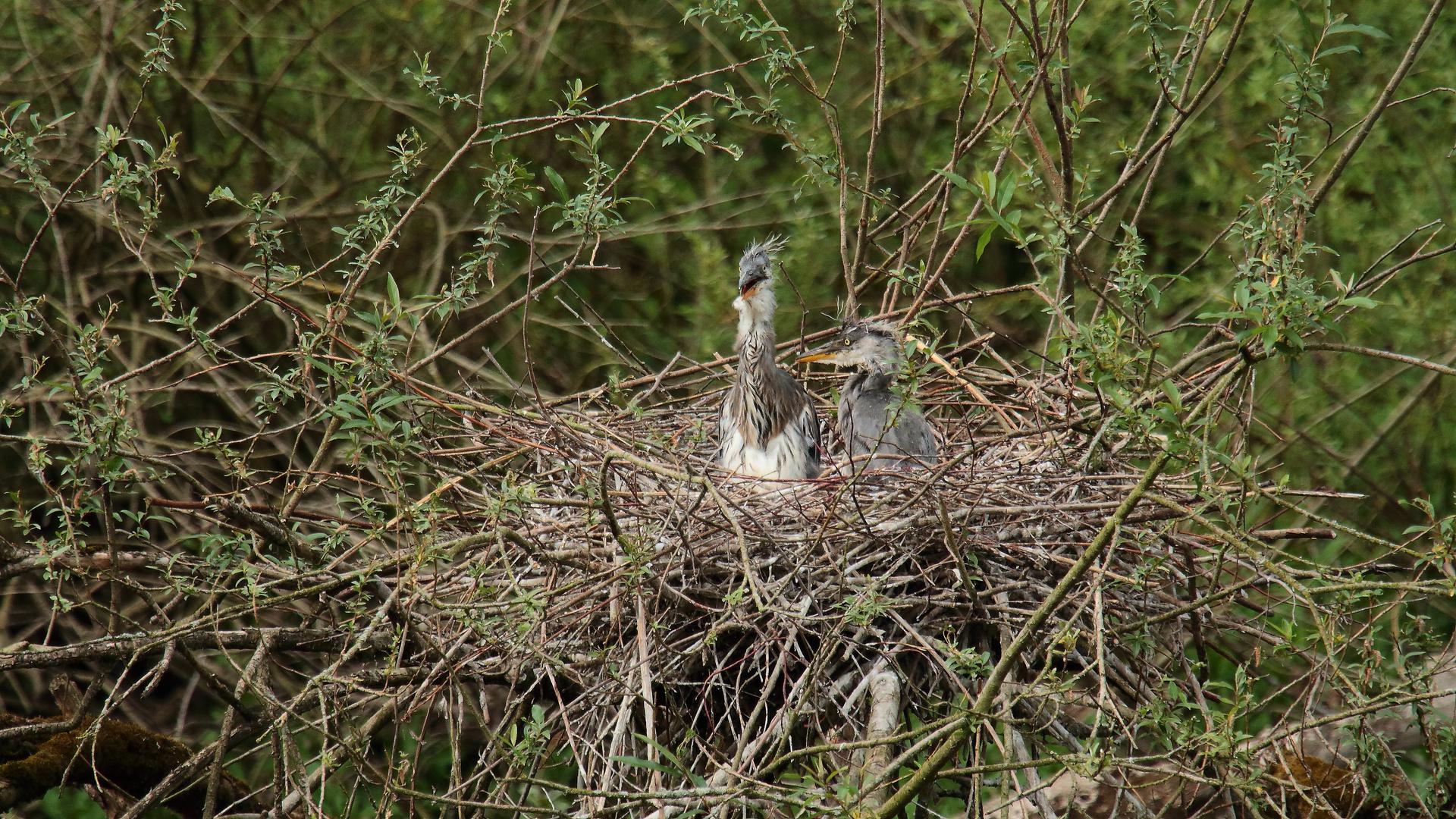 Graureiher im Nest 04