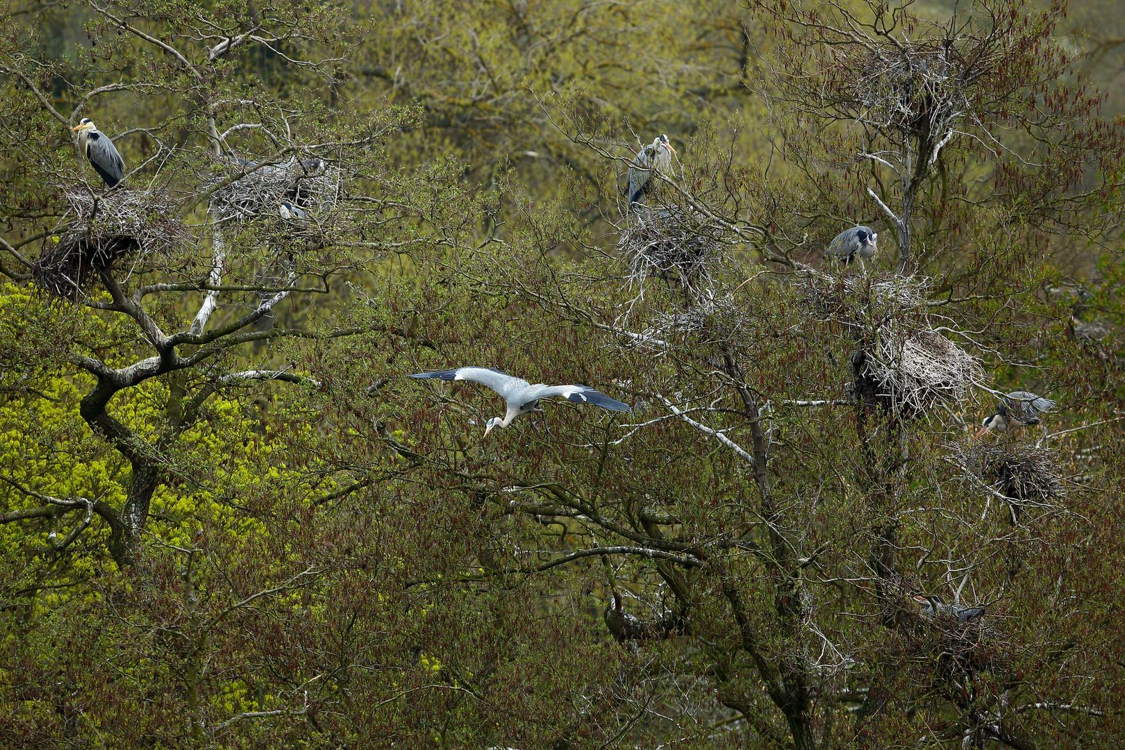 Graureiher in den Lahnauen bei Limburg