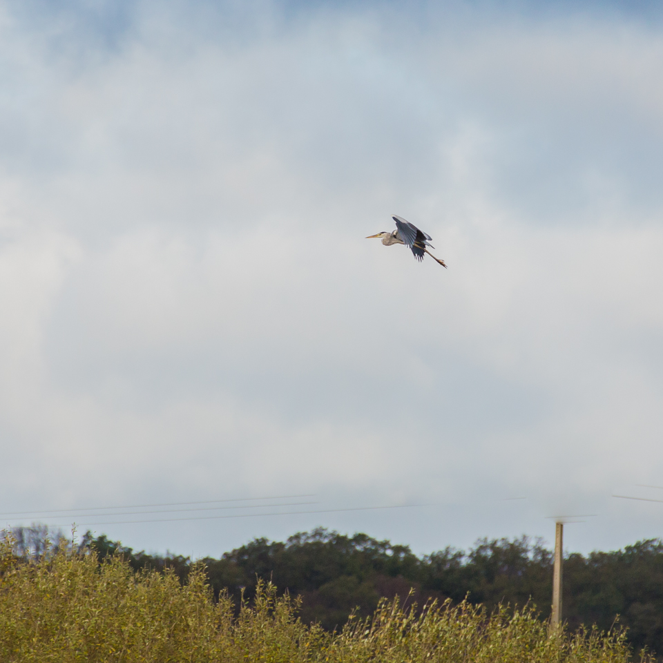 Graureiher in der Luft